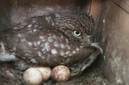 Kempen-Steenuil-met-eieren-AAB4140